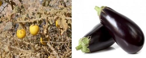 Domestication aubergine