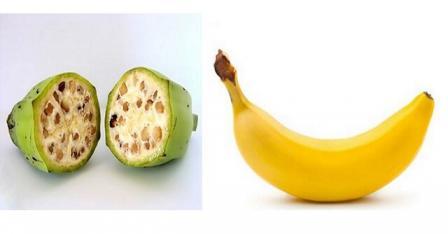 Domestication banane