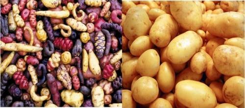 Domestication patate
